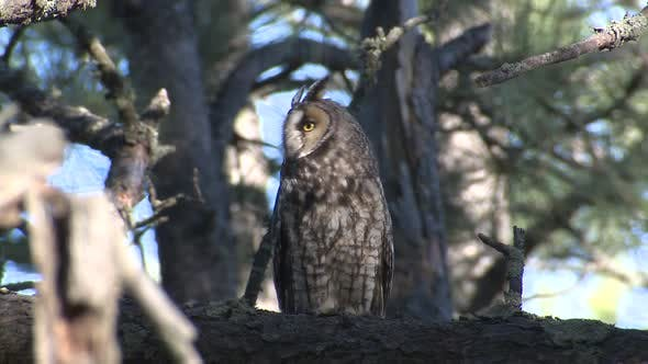Thumbnail for Long-eared Owl Adult Lone Perched Flying in Summer in South Dakota
