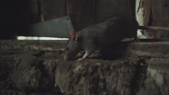 Thumbnail for Gray Rat Is In An Old Dirty Basement