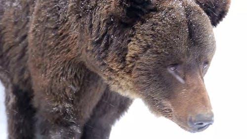 Eurasischer Braunbär (Ursus arctos arctos)