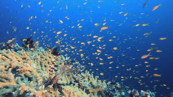 Thumbnail for Schooling Underwater Lionfish Scene