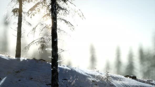 Thumbnail for Splendid Christmas Scene in the Mountain Forest. Colorful Winter Sunrise