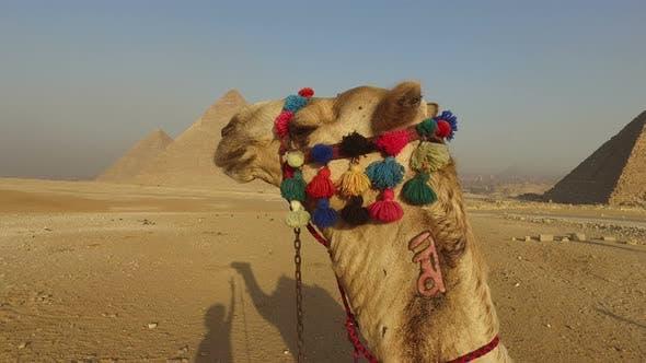 Thumbnail for closeup of camel at Giza pyramids