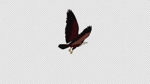 Brahminy Kite - Flying Loop - Back Angle