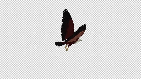 Thumbnail for Brahminy Kite - Flying Loop - Back Angle