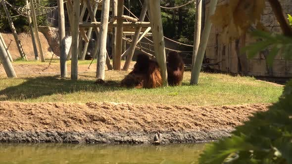 Orangutan at Zoo