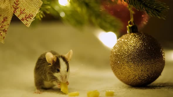 Thumbnail for Macro Shot of A Small Gray Rat Eating Cheese Sitting Among the Decorations Under the Christmas Tree.