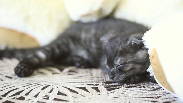 Thumbnail for Sleeping Kitten