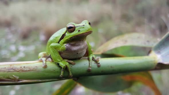 Thumbnail for Green tree frog sitting on a branch in Greece