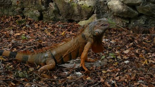 Iguana in tropical forest