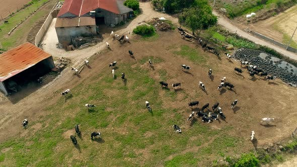 Thumbnail for Taken From a Drone a Large Herd of Cows in a Farm
