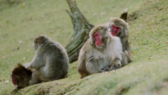 Thumbnail for Japanese Macaque Shot Near Kyoto Japan