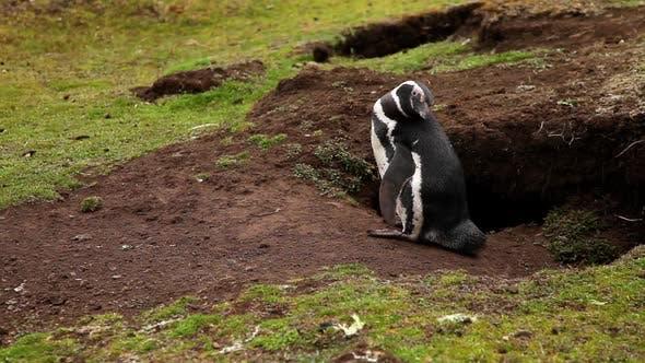 Thumbnail for Magellanic Penguin Next To It's Nest