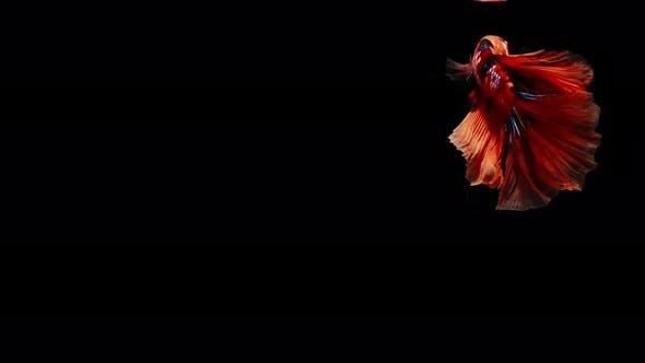 Colorful Siamese Fighting Fish Betta Splendens 09