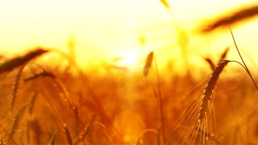 Thumbnail for Wheat At Sunset 4