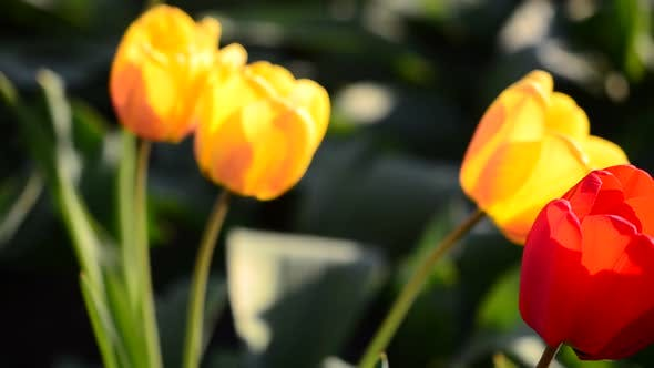 Thumbnail for Tulips in the Spring