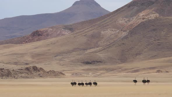 Herd of Ostrich walking on a dry savanna