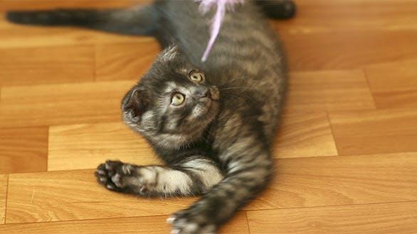 Thumbnail for Playful Kitten 2