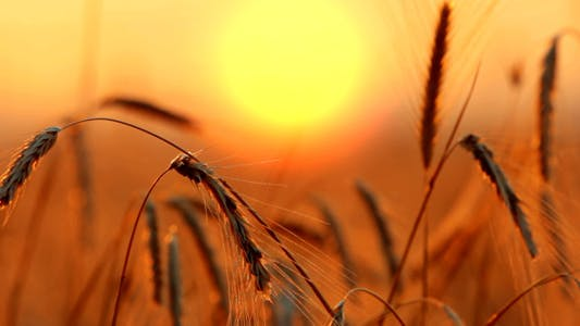 Thumbnail for Wheat At Sunset 5