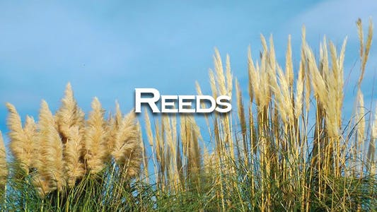Thumbnail for Reeds
