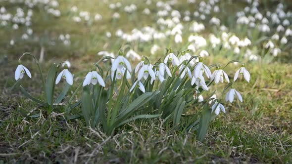 Thumbnail for Wild White Snowdrops Moving in a Wind in Green Meadow