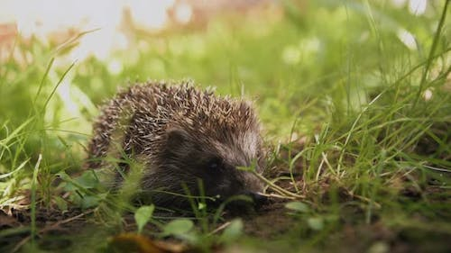 Cute prickly hedgehog in the grass