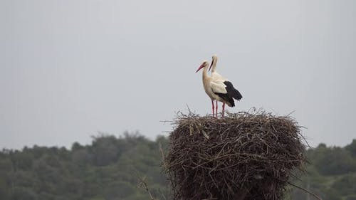 White Storks in the Nest, Portugal