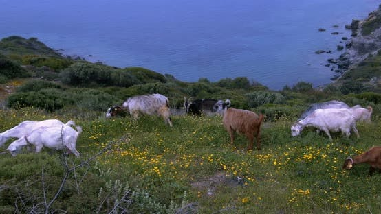Thumbnail for Goats Grazing On The Mountain