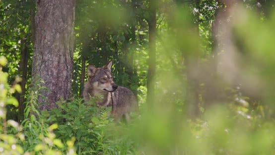 Thumbnail for Large Grey Wolf Looking After Rivals and Danger in the Dense Summer Forest