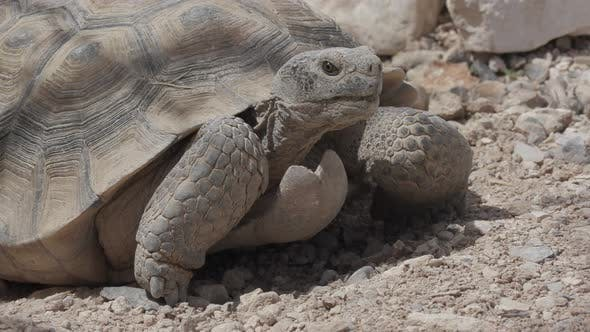 Thumbnail for Desert Tortoise Male Adult Lone Looking Around in Spring in Nevada
