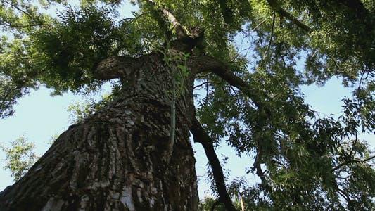 Tree Foliage Looking Up