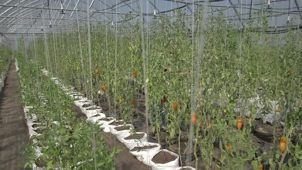 Thumbnail for Greenhouse with Growing Tomato Bushes