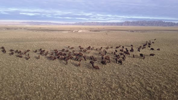 Bison Adult Immature Herd Many Eating Grazing in Spring