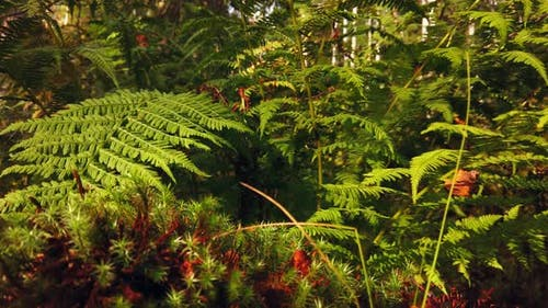 Growing Fern in a Dense Forest at Sunset