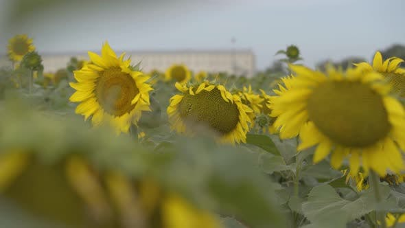 Thumbnail for Playful Curly Girl Looking at the Camera Smiling Standing in the Sunflower Field
