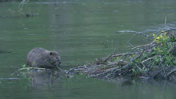 Thumbnail for Beaver Adult Lone Grooming Cleaning Rubbing in Summer Dusk Twilight Evening