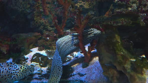 Thumbnail for Moray Eels, or Muraenidae, Are a Family of Eels Whose Members Are Found Worldwide