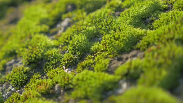 Thumbnail for Green moss shallow DOF   on daylight 4K 2160p UHD footage -  Bryophyta moss by the day slow panning