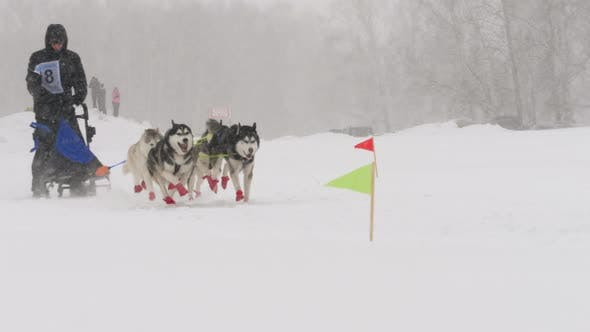 Thumbnail for Team of Husky Sled Dogs with Dog-driver