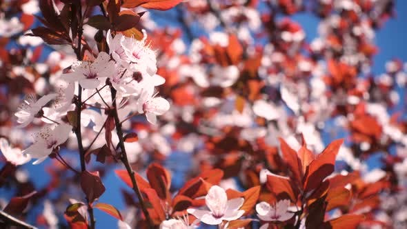 Thumbnail for Pink Blooming Cherry Tree