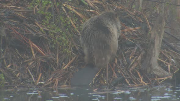 Thumbnail for Beaver Adult Lone Grooming Cleaning in Spring Dawn Morning Rubbing Scratching Fog