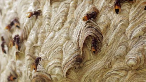 Wasp Hive With Active Wasps II
