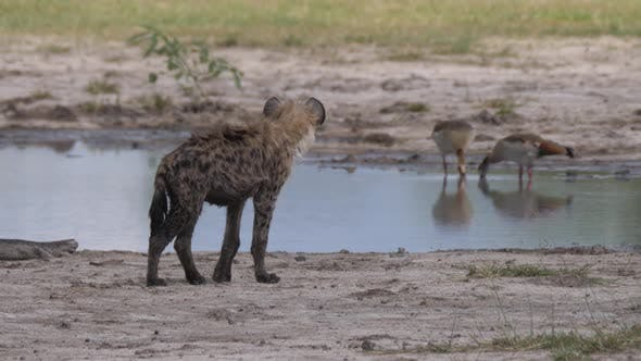 Thumbnail for Spotted hyena walking around a pond
