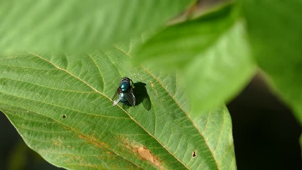 Thumbnail for Fly on a green leaf in the Philippines