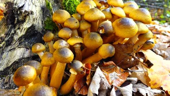 Honey Fungus Mushrooms 29