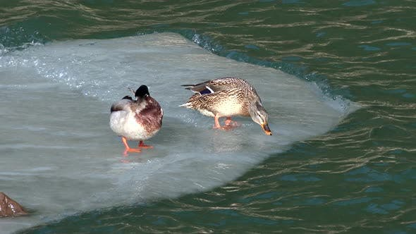 Thumbnail for Ducks on the Ice Sheet