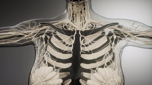 Thumbnail for Transparent Human Body with Visible Bones