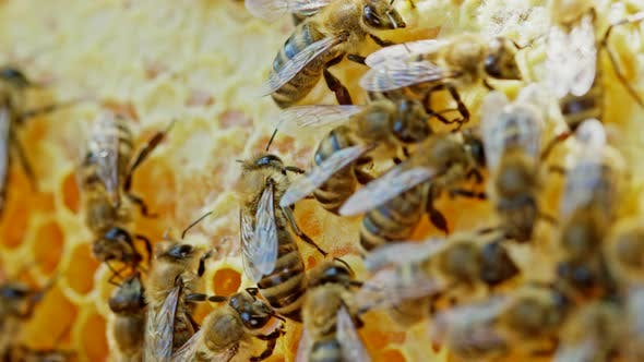 Bees Seal the Honeycomb in Apiary. Life of Apis Mellifera. Concept of Honey, Apiculture, Beehive