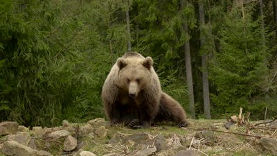 Bear Rests in Wild Forest