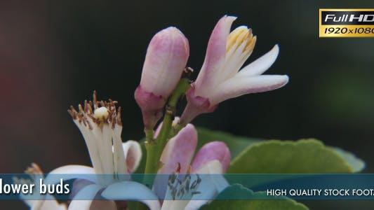 Thumbnail for Flower Buds