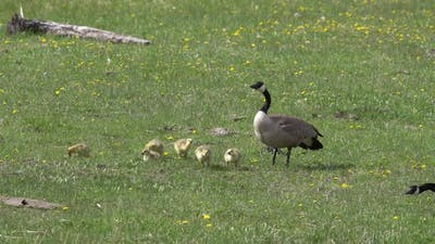 Mother Canada Goose with chicks in field